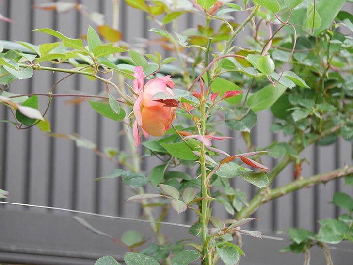 ソレイユロマンティカ(Soleil Romantica)の2番花が増えてきた。ツルバラ。2020年-002.jpg