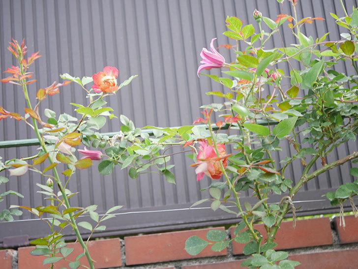 ソレイユロマンティカ(Soleil Romantica)の2番花が増えてきた。ツルバラ。2020年-003.jpg
