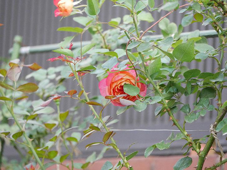 ソレイユロマンティカ(Soleil Romantica)の2番花が増えてきた。ツルバラ。2020年-004.jpg