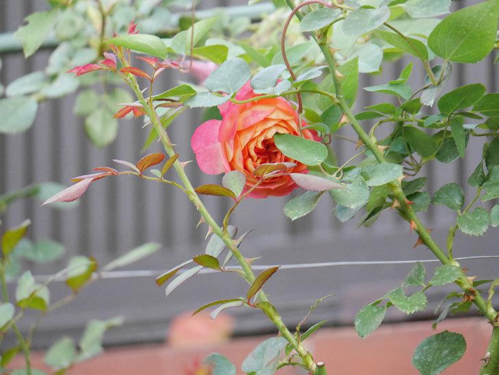 ソレイユロマンティカ(Soleil Romantica)の2番花が増えてきた。ツルバラ。2020年-005.jpg
