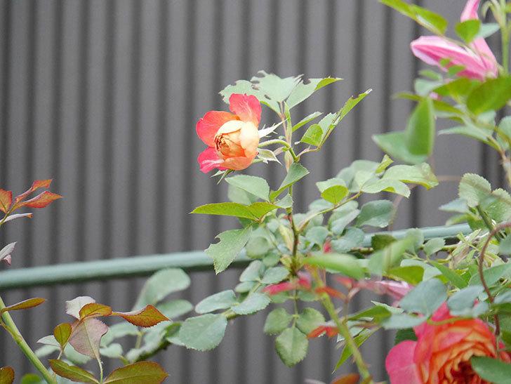 ソレイユロマンティカ(Soleil Romantica)の2番花が増えてきた。ツルバラ。2020年-006.jpg