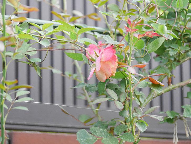 ソレイユロマンティカ(Soleil Romantica)の2番花が増えてきた。ツルバラ。2020年-007.jpg
