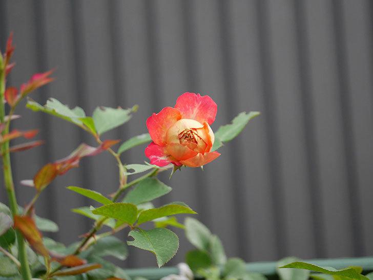 ソレイユロマンティカ(Soleil Romantica)の2番花が増えてきた。ツルバラ。2020年-008.jpg