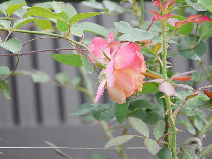 ソレイユロマンティカ(Soleil Romantica)の2番花が増えてきた。ツルバラ。2020年-009.jpg