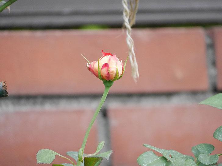 ソレイユロマンティカ(Soleil Romantica)の2番花が増えてきた。ツルバラ。2020年-010.jpg