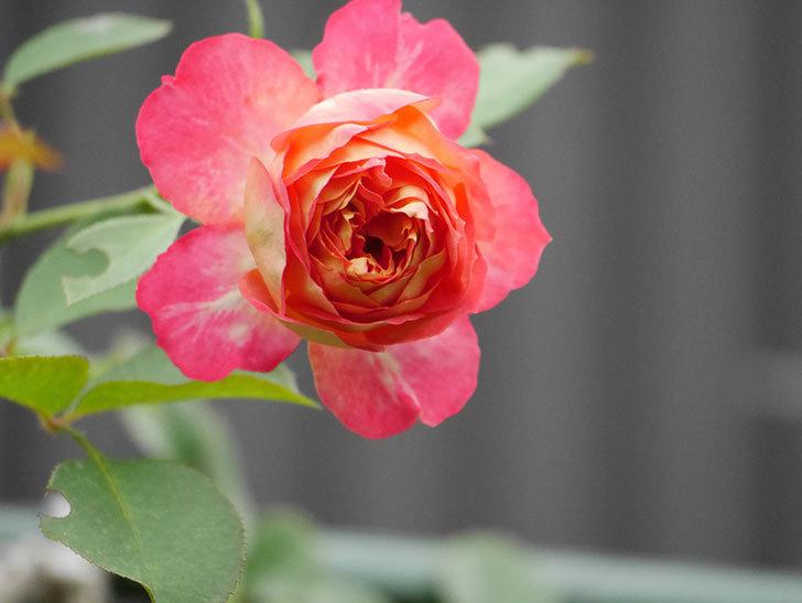 ソレイユロマンティカ(Soleil Romantica)の2番花が増えてきた。ツルバラ。2020年-012.jpg