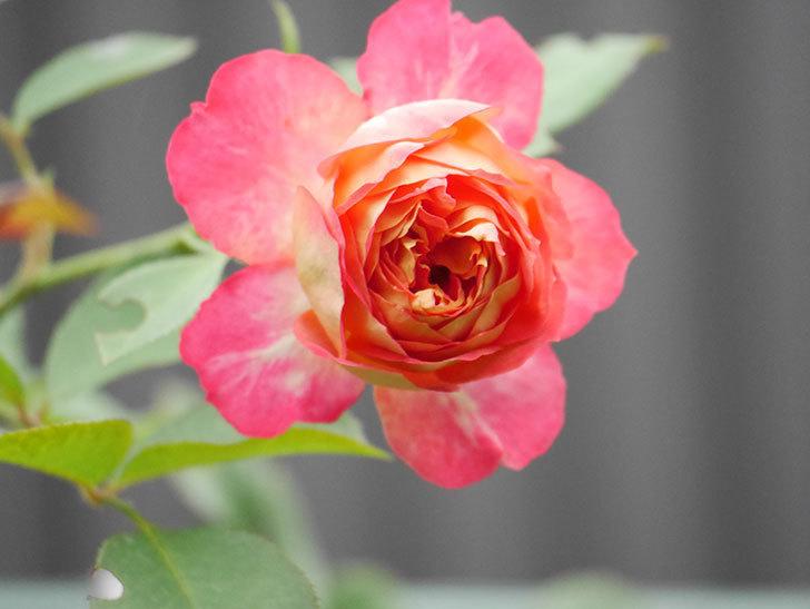 ソレイユロマンティカ(Soleil Romantica)の2番花が増えてきた。ツルバラ。2020年-013.jpg