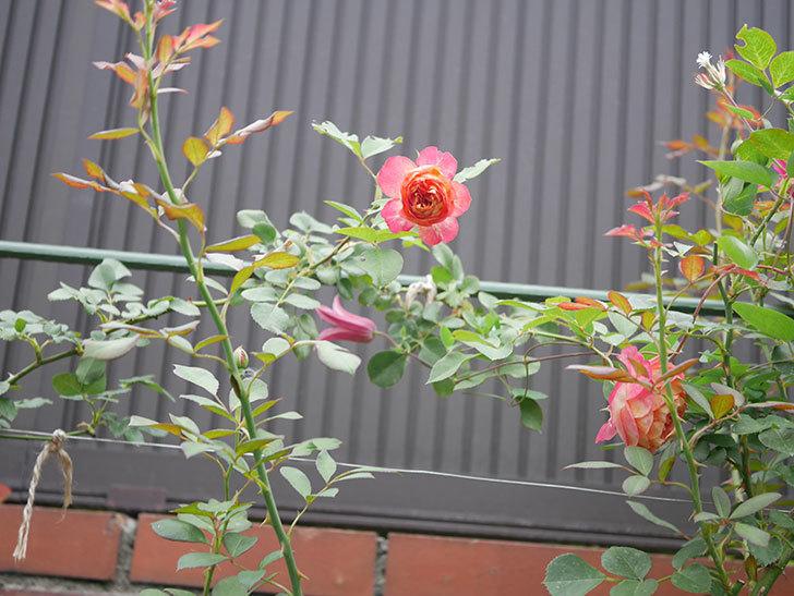ソレイユロマンティカ(Soleil Romantica)の2番花が増えてきた。ツルバラ。2020年-015.jpg
