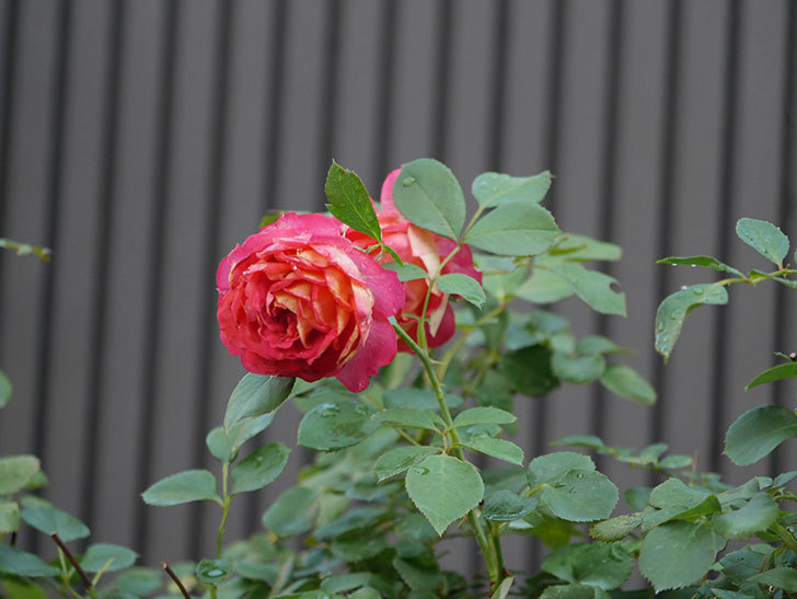 ソレイユロマンティカ(Soleil Romantica)の2番花が綺麗に咲いた。ツルバラ。2020年-001.jpg