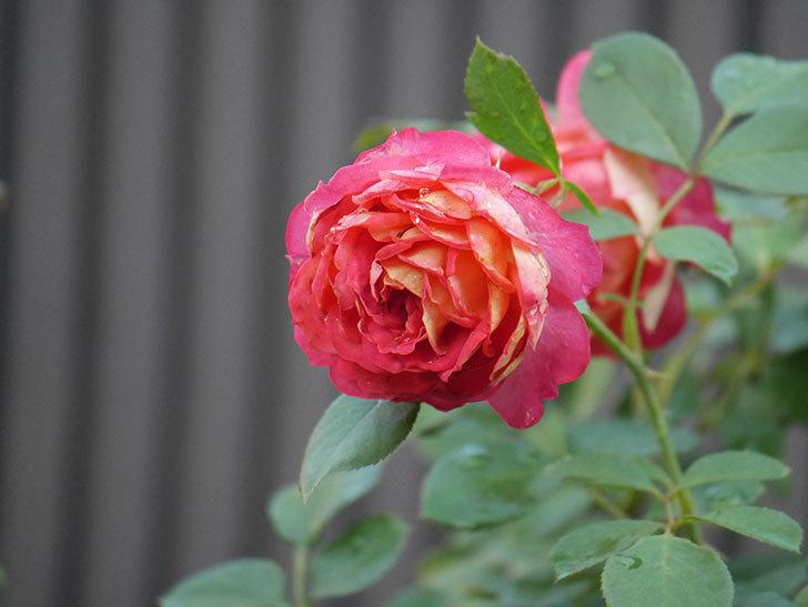ソレイユロマンティカ(Soleil Romantica)の2番花が綺麗に咲いた。ツルバラ。2020年-002.jpg