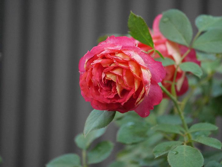 ソレイユロマンティカ(Soleil Romantica)の2番花が綺麗に咲いた。ツルバラ。2020年-003.jpg