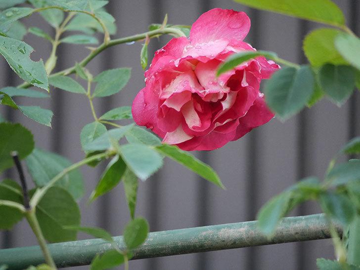 ソレイユロマンティカ(Soleil Romantica)の2番花が綺麗に咲いた。ツルバラ。2020年-004.jpg