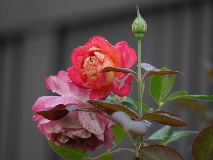 ソレイユロマンティカ(Soleil Romantica)の2番花が綺麗に咲いた。ツルバラ。2020年-006.jpg