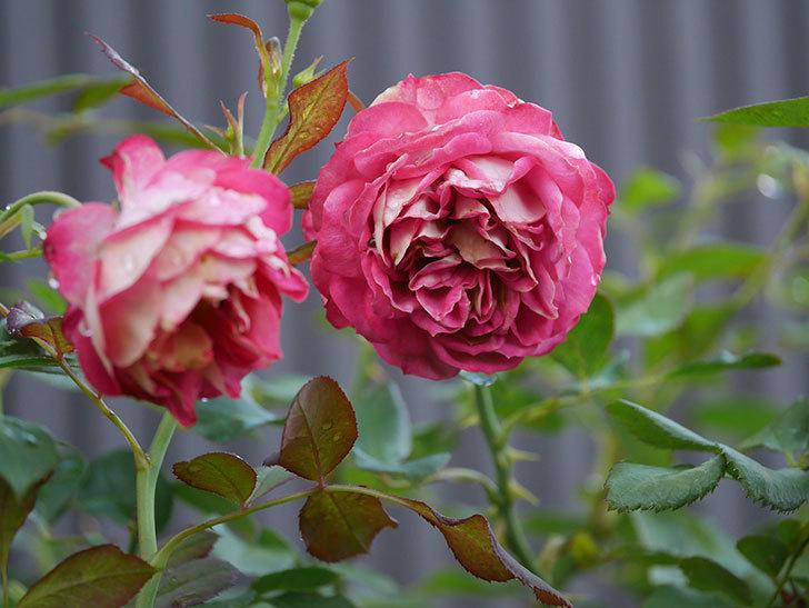 ソレイユロマンティカ(Soleil Romantica)の2番花が綺麗に咲いた。ツルバラ。2020年-008.jpg