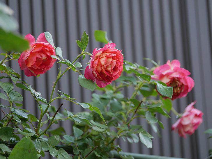 ソレイユロマンティカ(Soleil Romantica)の2番花が綺麗に咲いた。ツルバラ。2020年-009.jpg