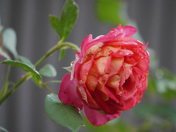 ソレイユロマンティカ(Soleil Romantica)の2番花が綺麗に咲いた。ツルバラ。2020年-010.jpg
