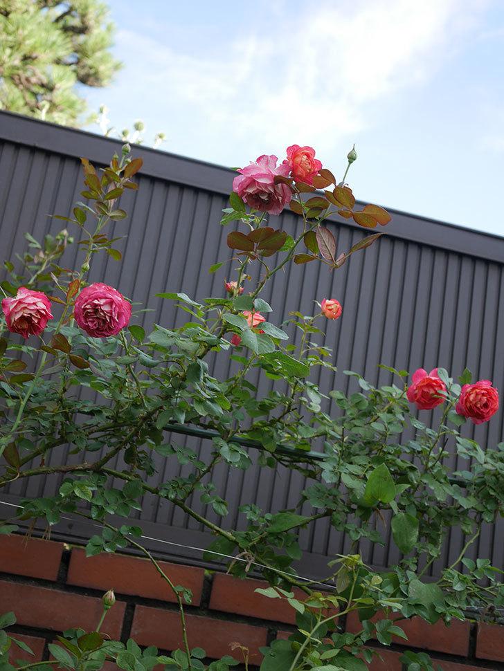 ソレイユロマンティカ(Soleil Romantica)の2番花が綺麗に咲いた。ツルバラ。2020年-011.jpg