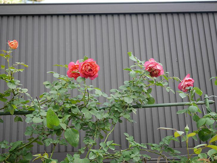 ソレイユロマンティカ(Soleil Romantica)の2番花が綺麗に咲いた。ツルバラ。2020年-012.jpg