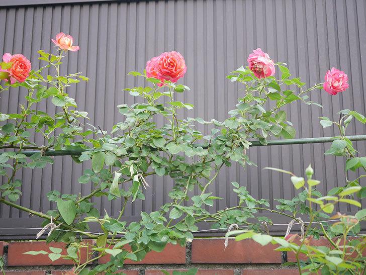 ソレイユロマンティカ(Soleil Romantica)の2番花が綺麗に咲いた。ツルバラ。2020年-013.jpg