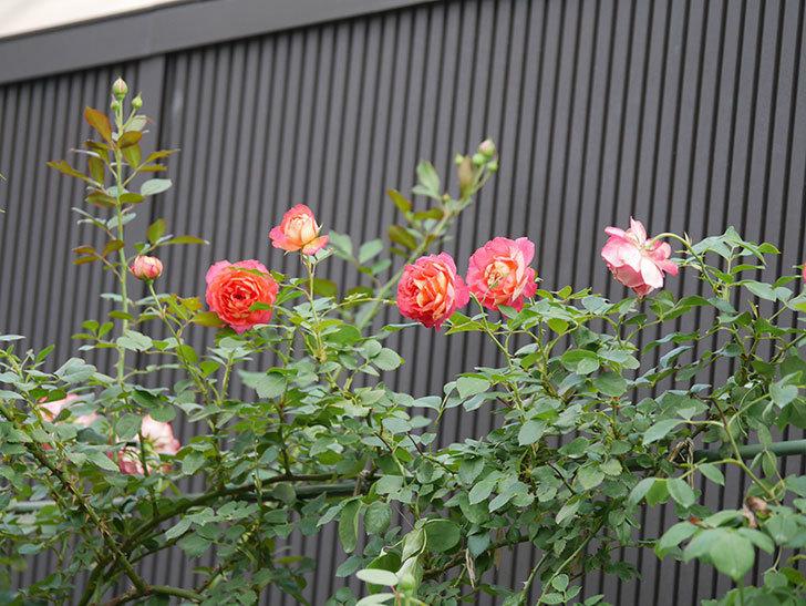 ソレイユロマンティカ(Soleil Romantica)の2番花が綺麗に咲いた。ツルバラ。2020年-014.jpg