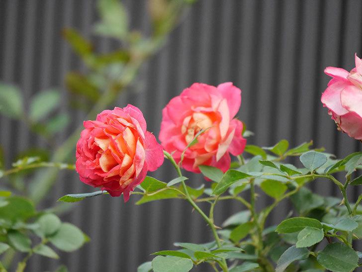 ソレイユロマンティカ(Soleil Romantica)の2番花が綺麗に咲いた。ツルバラ。2020年-015.jpg