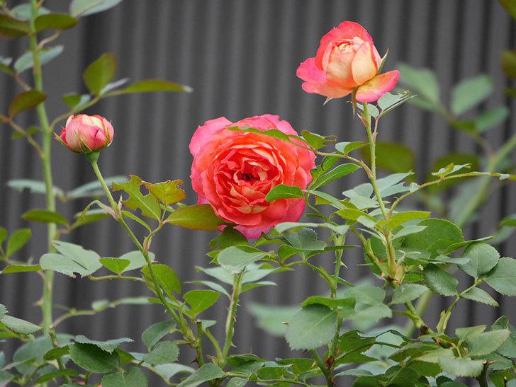ソレイユロマンティカ(Soleil Romantica)の2番花が綺麗に咲いた。ツルバラ。2020年-016.jpg