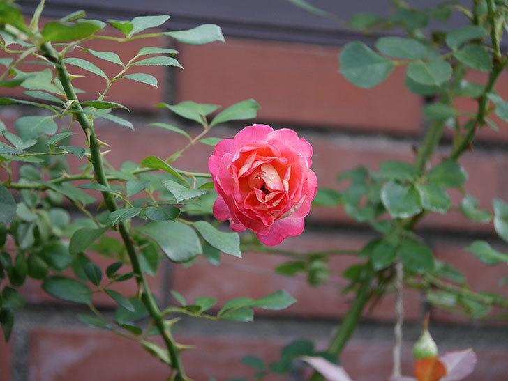 ソレイユロマンティカ(Soleil Romantica)の2番花が綺麗に咲いた。ツルバラ。2020年-017.jpg