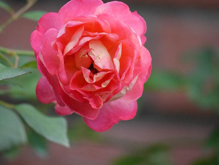 ソレイユロマンティカ(Soleil Romantica)の2番花が綺麗に咲いた。ツルバラ。2020年-018.jpg