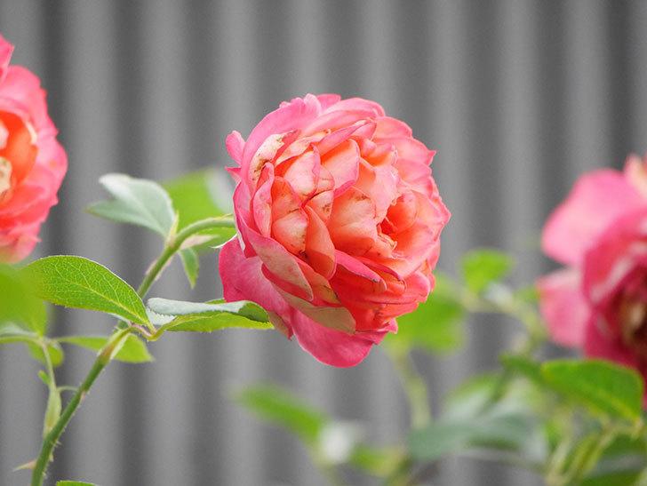 ソレイユロマンティカ(Soleil Romantica)の2番花が綺麗に咲いた。ツルバラ。2020年-019.jpg