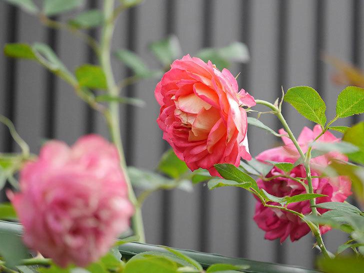 ソレイユロマンティカ(Soleil Romantica)の2番花が綺麗に咲いた。ツルバラ。2020年-020.jpg
