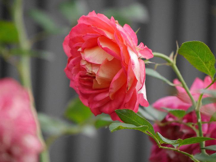 ソレイユロマンティカ(Soleil Romantica)の2番花が綺麗に咲いた。ツルバラ。2020年-021.jpg