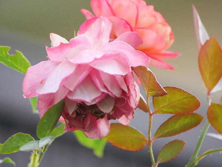 ソレイユロマンティカ(Soleil Romantica)の2番花が綺麗に咲いた。ツルバラ。2020年-022.jpg