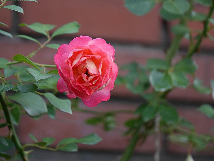 ソレイユロマンティカ(Soleil Romantica)の2番花が綺麗に咲いた。ツルバラ。2020年-023.jpg