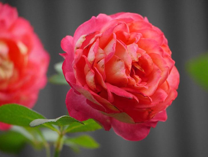 ソレイユロマンティカ(Soleil Romantica)の2番花が綺麗に咲いた。ツルバラ。2020年-025.jpg