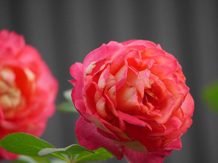 ソレイユロマンティカ(Soleil Romantica)の2番花が綺麗に咲いた。ツルバラ。2020年-026.jpg