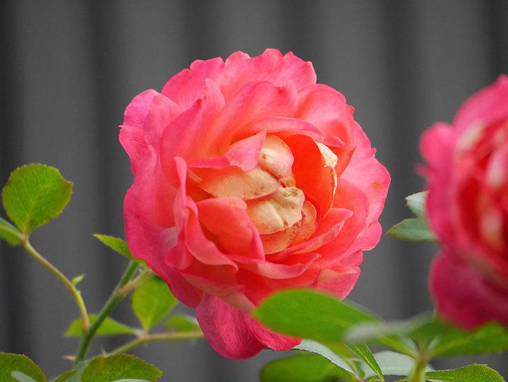 ソレイユロマンティカ(Soleil Romantica)の2番花が綺麗に咲いた。ツルバラ。2020年-027.jpg