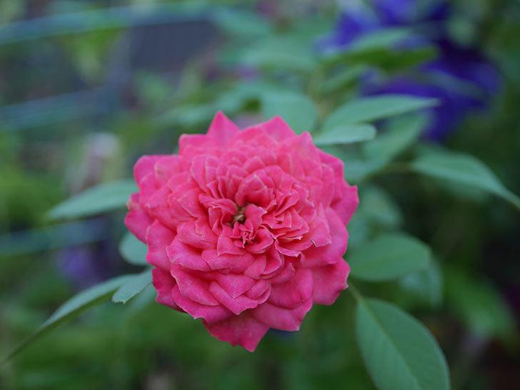 ソレイユロマンティカ(Soleil Romantica)の夏花がまた咲いた。ツルバラ。2020年-003.jpg