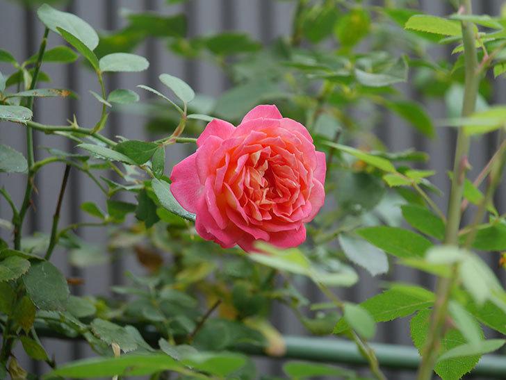 ソレイユロマンティカ(Soleil Romantica)の夏花が咲いた。ツルバラ。2020年-003.jpg