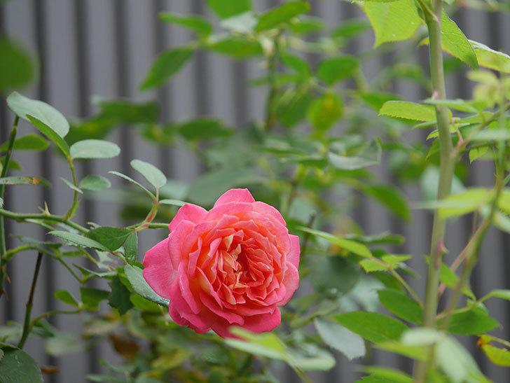 ソレイユロマンティカ(Soleil Romantica)の夏花が咲いた。ツルバラ。2020年-004.jpg