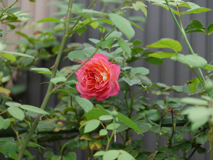 ソレイユロマンティカ(Soleil Romantica)の夏花が咲いた。ツルバラ。2020年-005.jpg