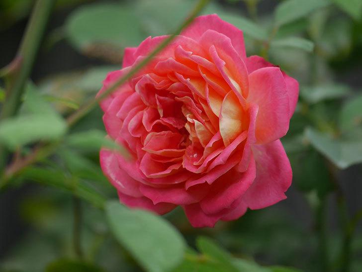 ソレイユロマンティカ(Soleil Romantica)の夏花が咲いた。ツルバラ。2020年-006.jpg