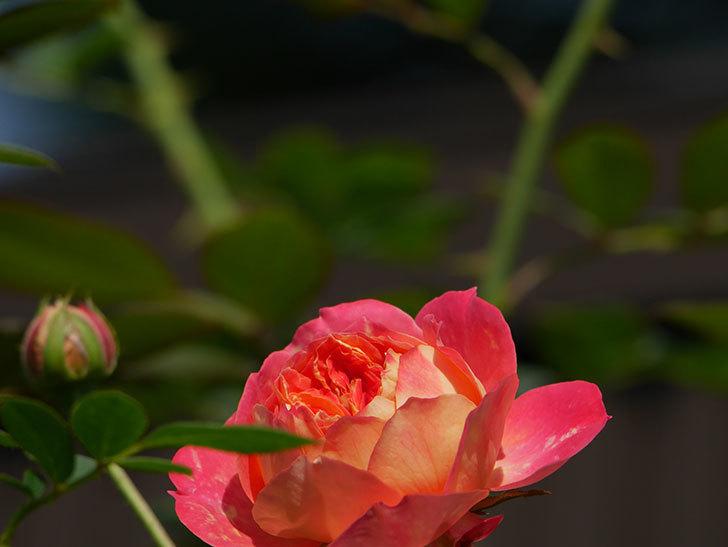 ソレイユロマンティカ(Soleil Romantica)の夏花が咲いた。ツルバラ。2020年-007.jpg
