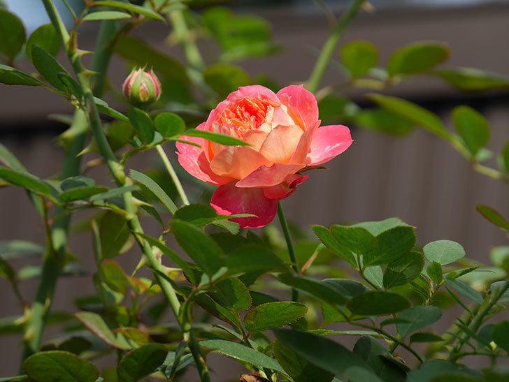 ソレイユロマンティカ(Soleil Romantica)の夏花が咲いた。ツルバラ。2020年-009.jpg