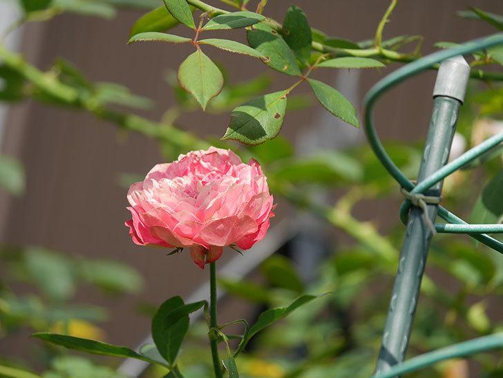 ソレイユロマンティカ(Soleil Romantica)の夏花が咲いた。ツルバラ。2020年-012.jpg