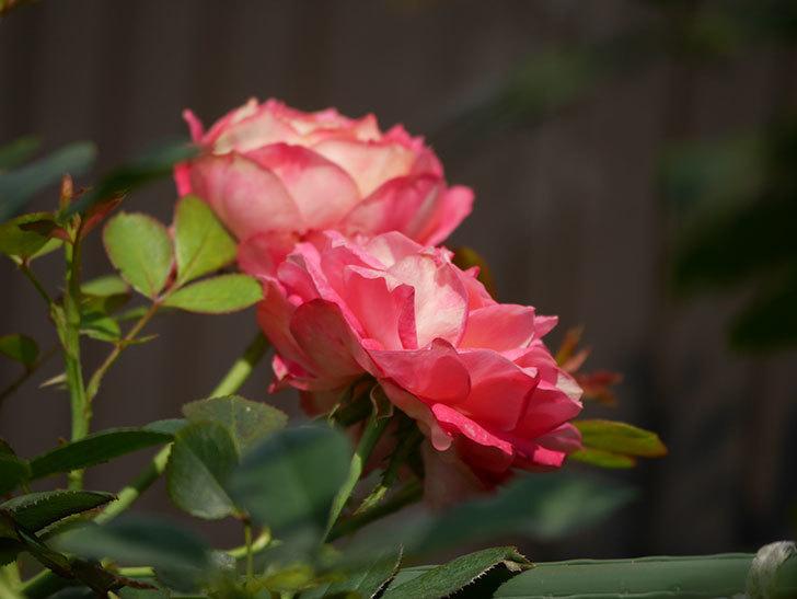ソレイユロマンティカ(Soleil Romantica)の夏花が咲いた。ツルバラ。2020年-013.jpg
