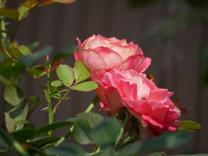 ソレイユロマンティカ(Soleil Romantica)の夏花が咲いた。ツルバラ。2020年-014.jpg