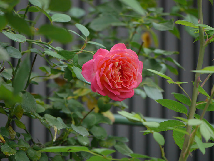 ソレイユロマンティカ(Soleil Romantica)の夏花が咲いた。ツルバラ。2020年-015.jpg