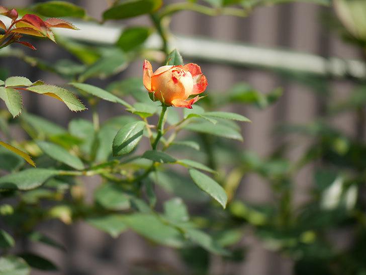 ソレイユロマンティカ(Soleil Romantica)の夏花が咲いた。ツルバラ。2020年-017.jpg