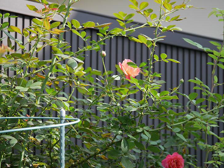ソレイユロマンティカ(Soleil Romantica)の夏花が咲いた。ツルバラ。2020年-018.jpg
