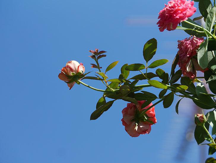 ソレイユロマンティカ(Soleil Romantica)の夏花が増えてきた。ツルバラ。2020年-016.jpg